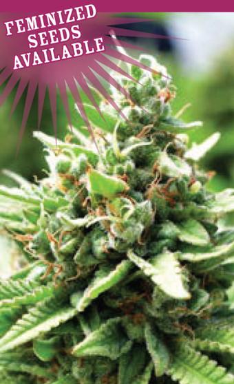 Sol Mate - Autoflower