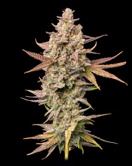 CannabinolOG F1 - Fem
