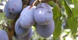 Plums: Variety and Imagination