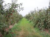 Summer Apples