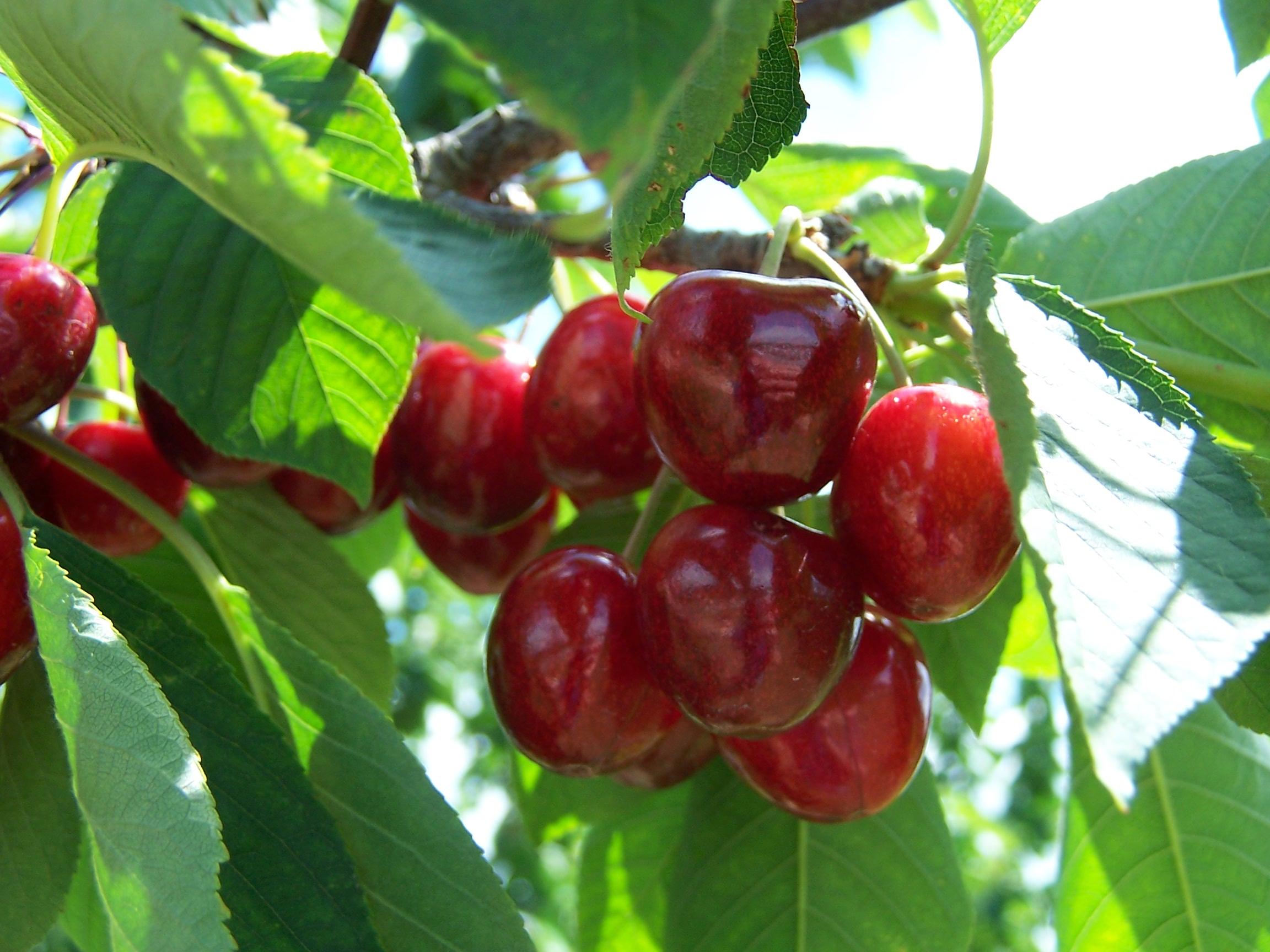 U-Pick Fruits
