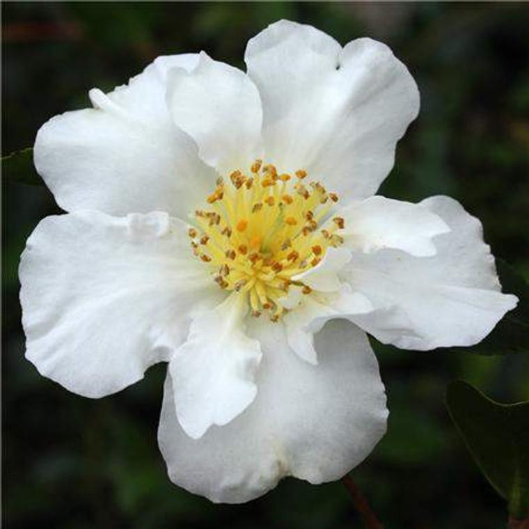 Camellia sasanqua 'Setsugekka' 8.5L