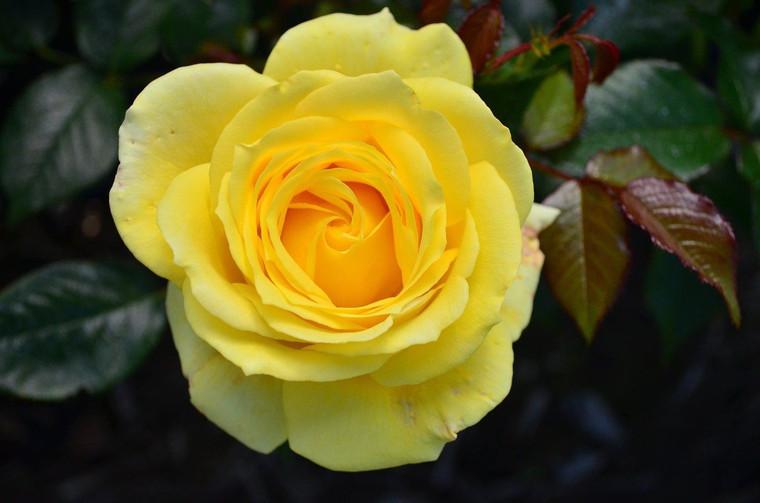 Rose 'Otago University' - Stan 6L