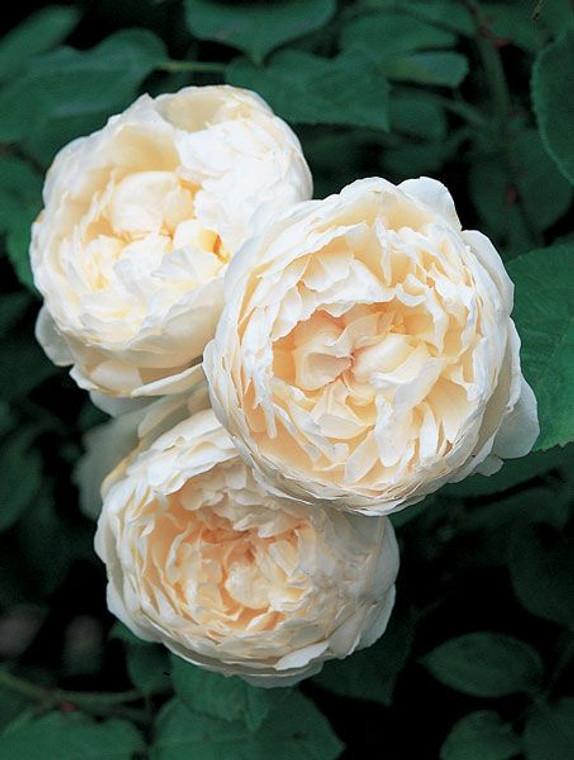 Rose 'Glamis Gastle' - Standar 6L