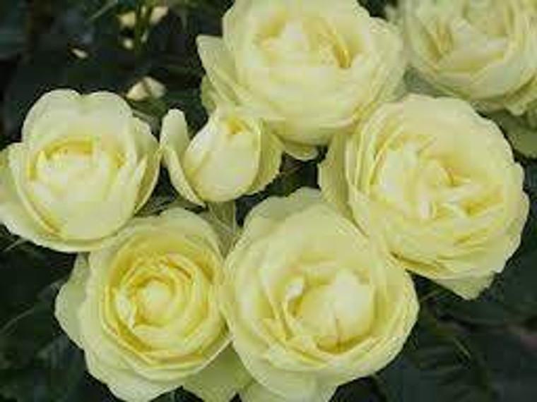 Rose 'Lemon n Lime' - Standard 6L