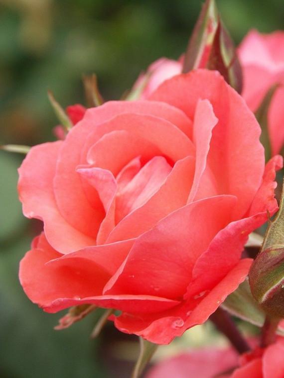 Rose 'Little Miss Perfect' - P 6L