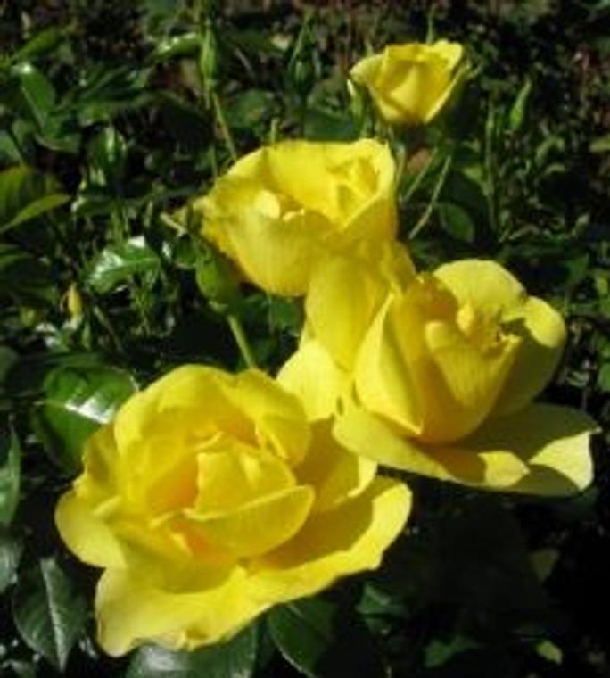 Rose 'Serendipity' - Standard 6L