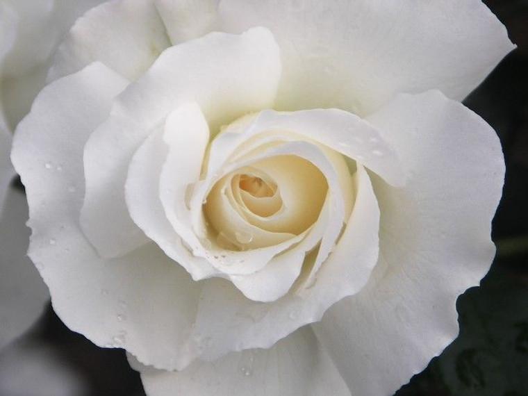 Rose 'White Romance' - Standar 6L