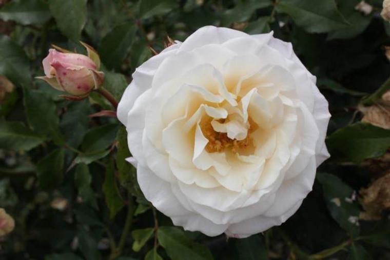 Rose 'Avalanche' - Standard 6L