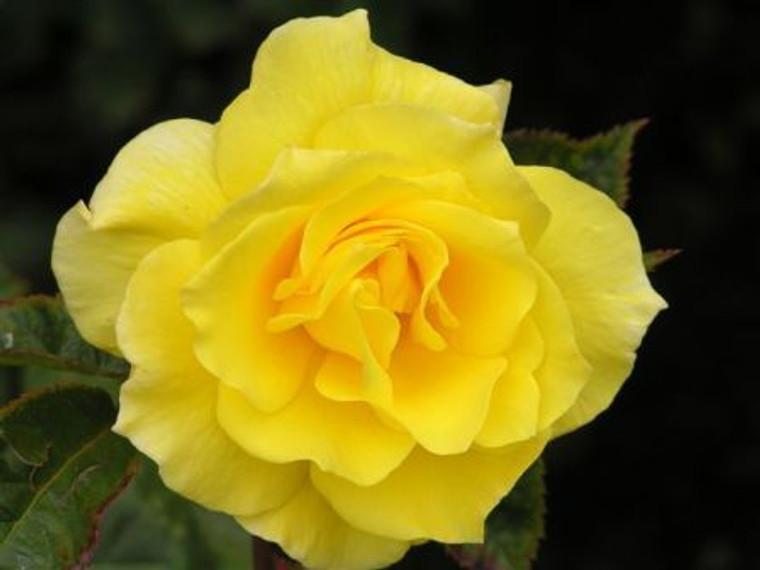 Rose 'Friesia' - Standard 6L