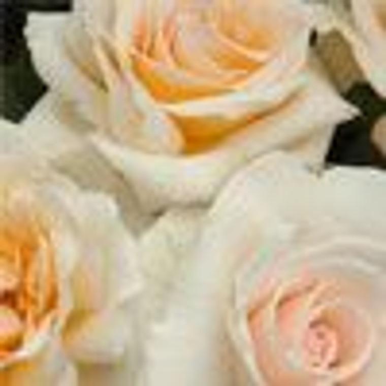 Rose 'Love Me Do' - Standard 6L