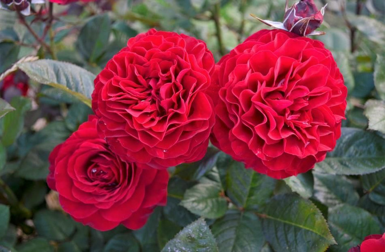 Rose 'Hayward College' - Stand 6L