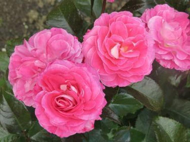 Rose 'Quintessential' - Standa 6L