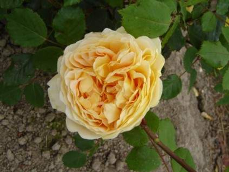 Rose 'Golden Celebration' - St 6L