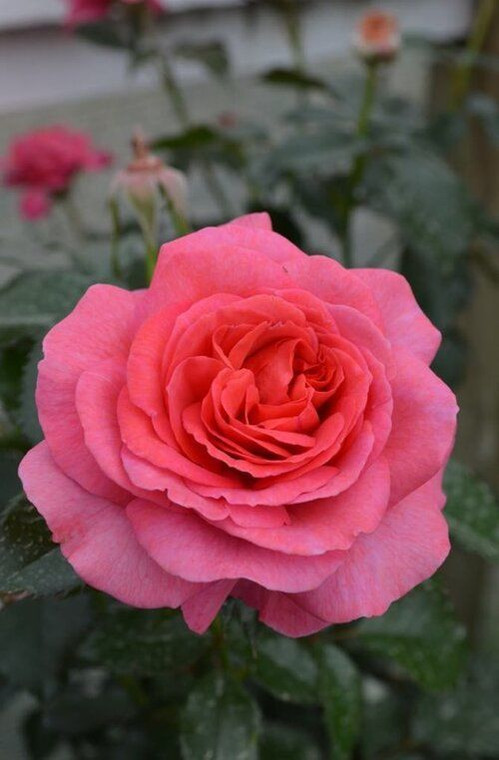Rose 'Truly Special' - Patio S 6L