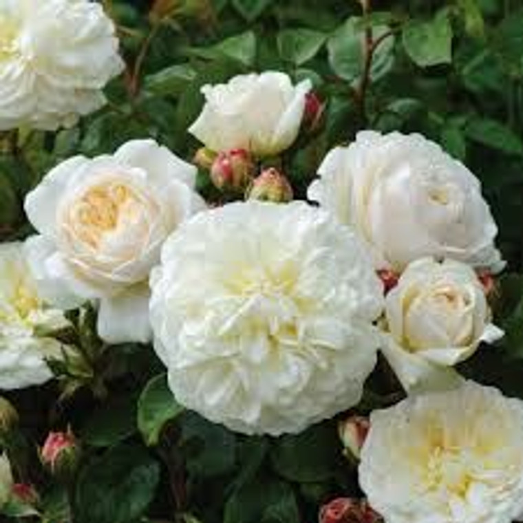Rose 'Tranquillity' 6L