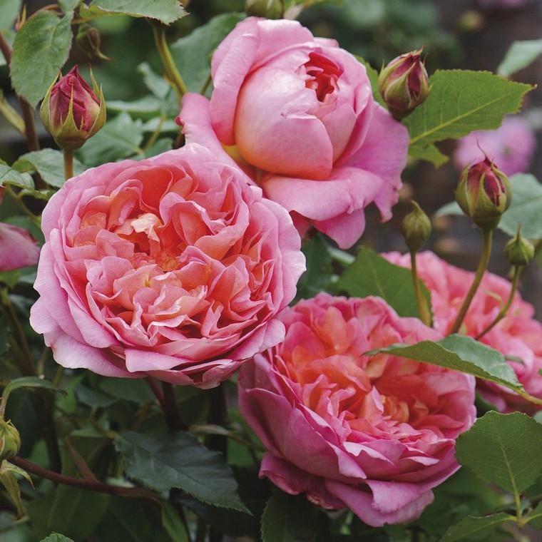 Rose 'Boscobel' 6L