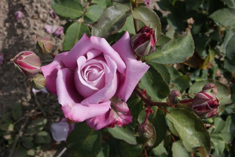 Rose 'Katherine Mansfield' 6L