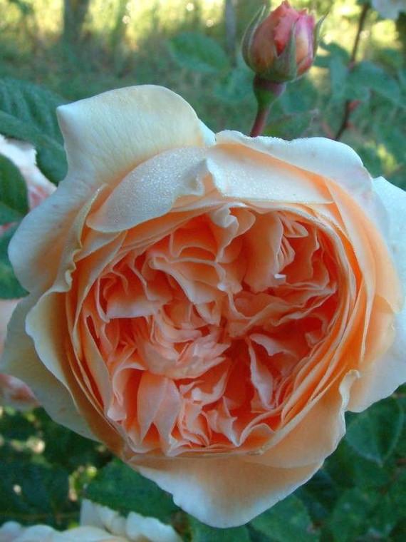 Rose 'Crown Princess Margareta 6L
