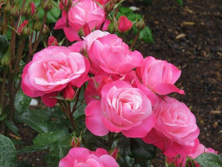 Rose 'Looking Good' 6L