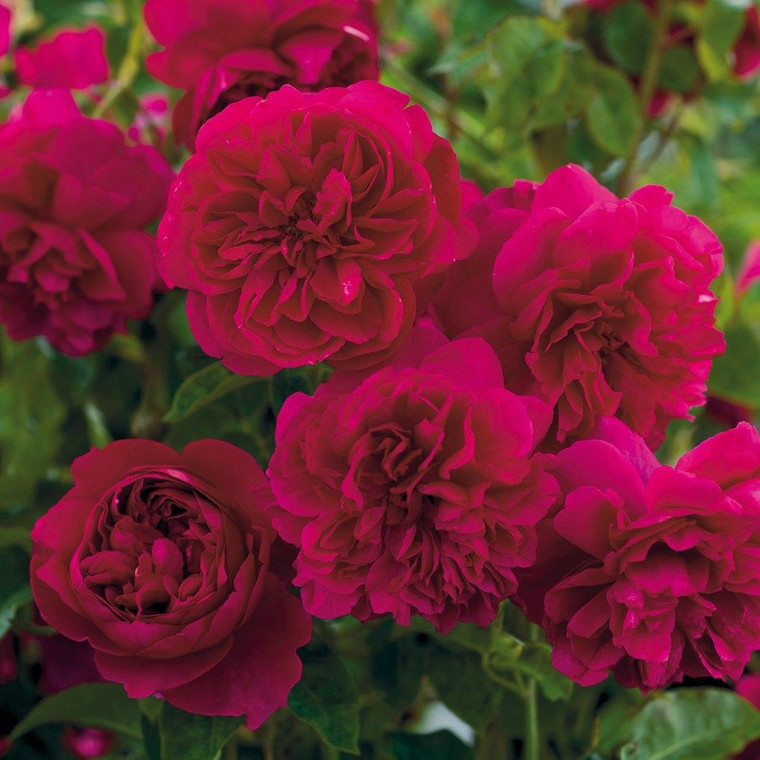 Rose 'Thomas A Becket' 8L