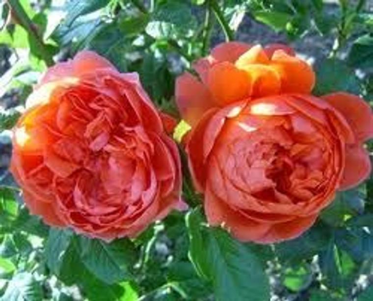 Rose 'Summer Song' 8L