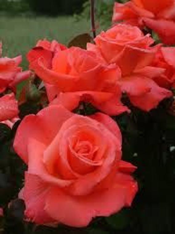 Rose 'Flamboyance' 6L