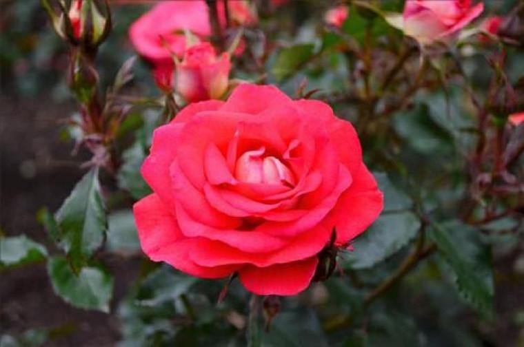 Rose 'Fireball' 6L