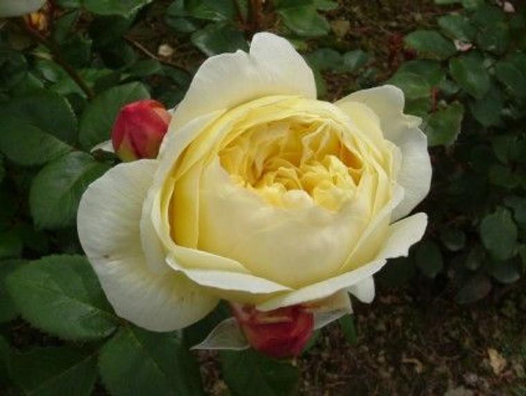 Rose 'Charles Darwin' 6L