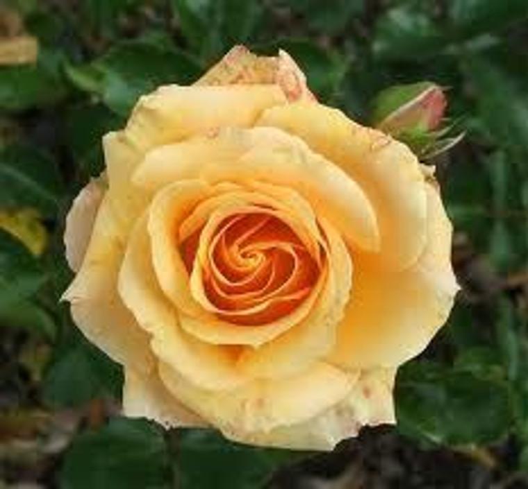 Rose 'Apricot Scentasia' - Pat 6L