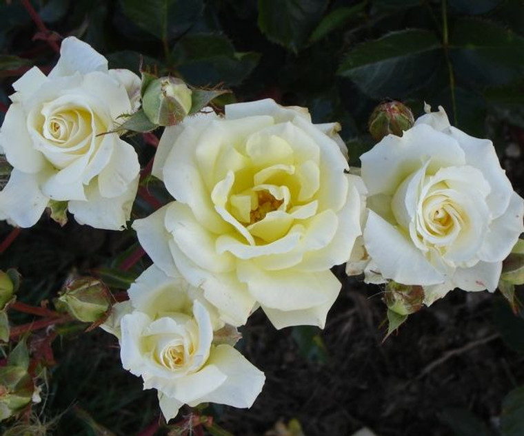 Rose 'Scentasia' - Patio Stand 6L