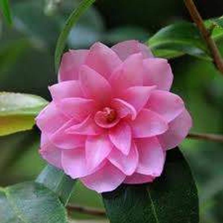 Camellia h 'Spring Festival' 6L