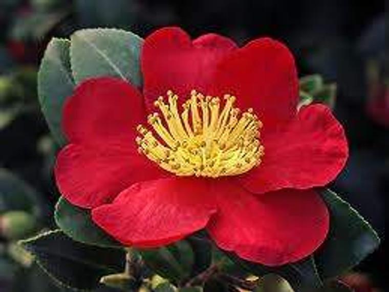 Camellia sasanqua 'Yuletide' 6L