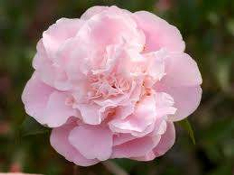 Camellia 'Sweet Emily Kate' 6L