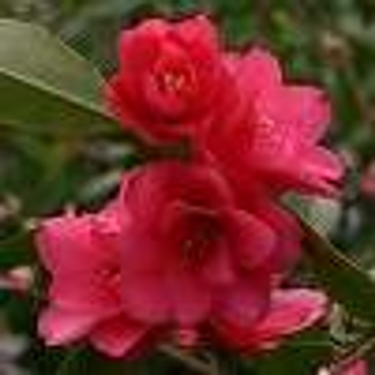 Camellia hybrid 'Fairy Wand' 8L