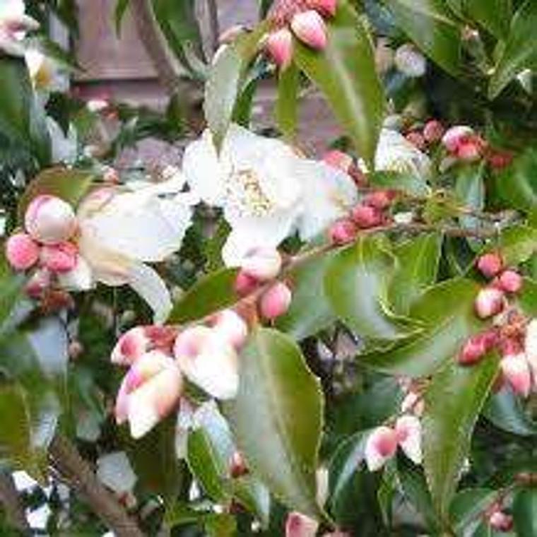 Camellia transnokoensis 6L