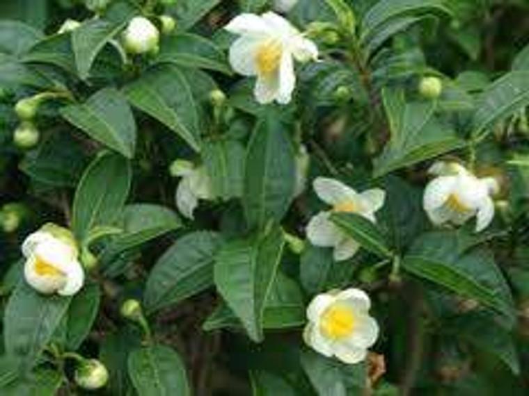 Camellia sinensis var. sinensi 6L