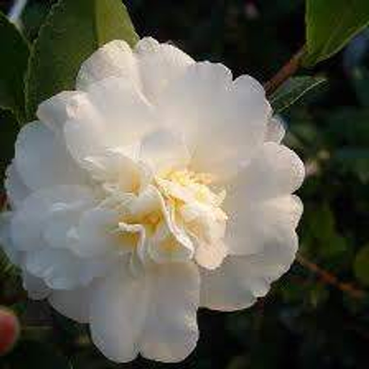 Camellia sasanqua 'Gay Sue' PB6