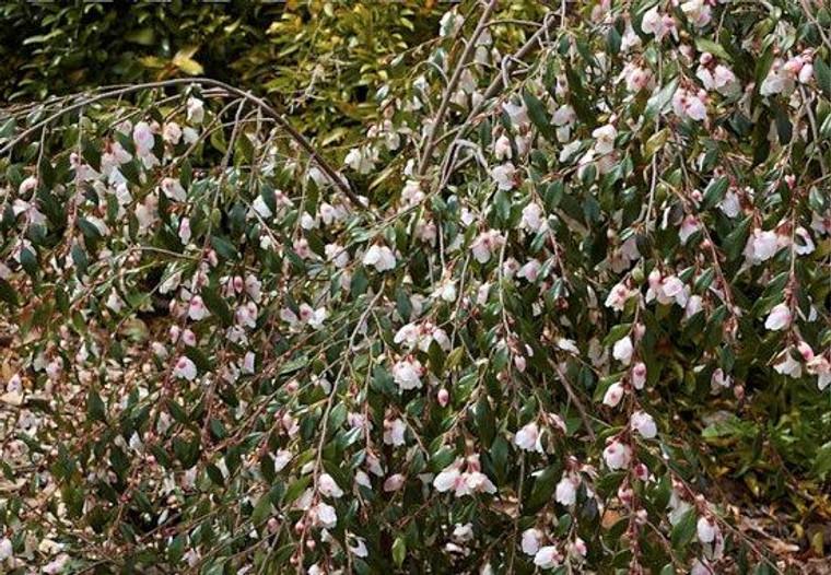 Camellia lutchuensis minutiflo 6L