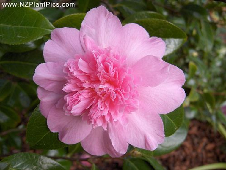 Camellia Japonica 'Ballet Quee 2.5L