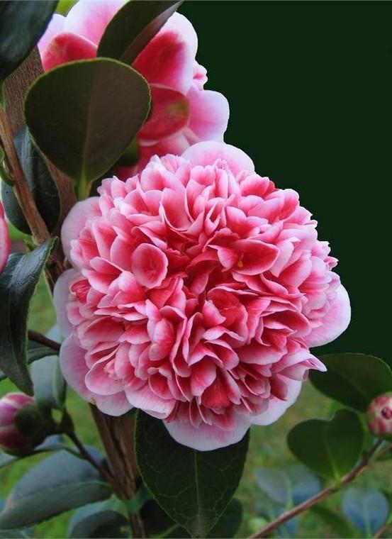 Camellia japonica 'Volunteer' 6L