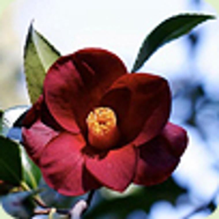 Camellia hybrid 'Night Rider' 1L