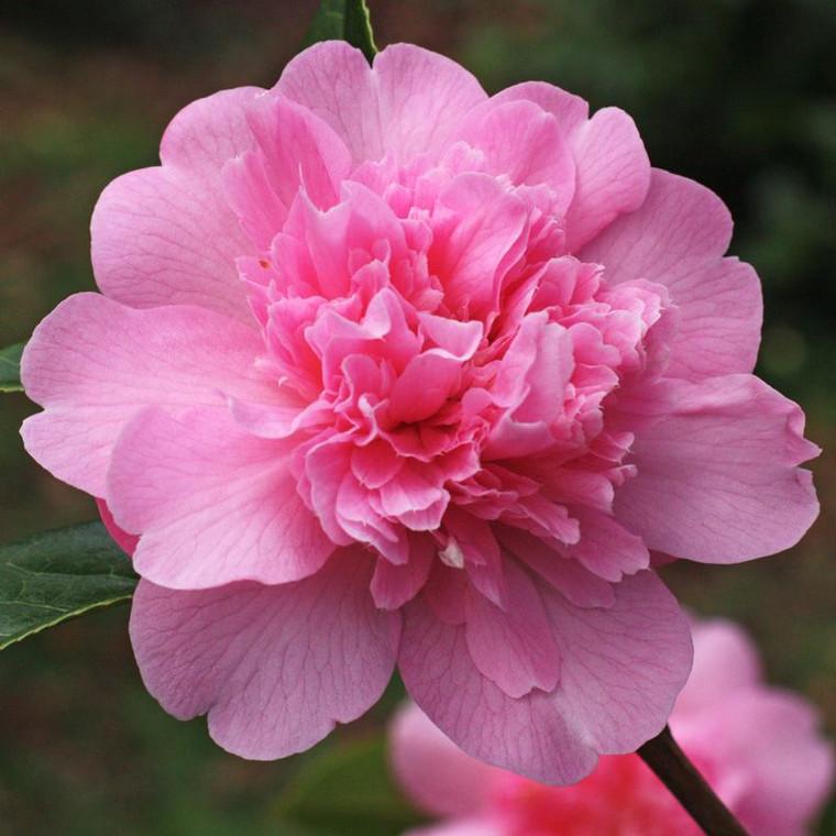 Camellia japonica 'Ballet Quee 1L