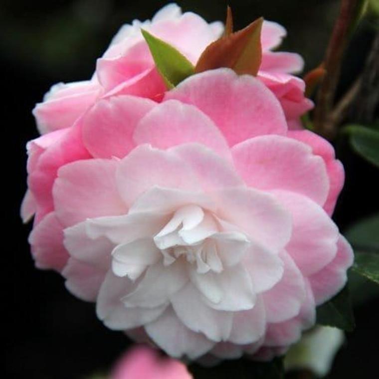 Camellia hybrid 'Sweet Jane' 6L