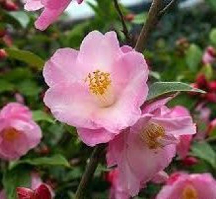 Camellia hybrid 'Alpen Glow' 6L