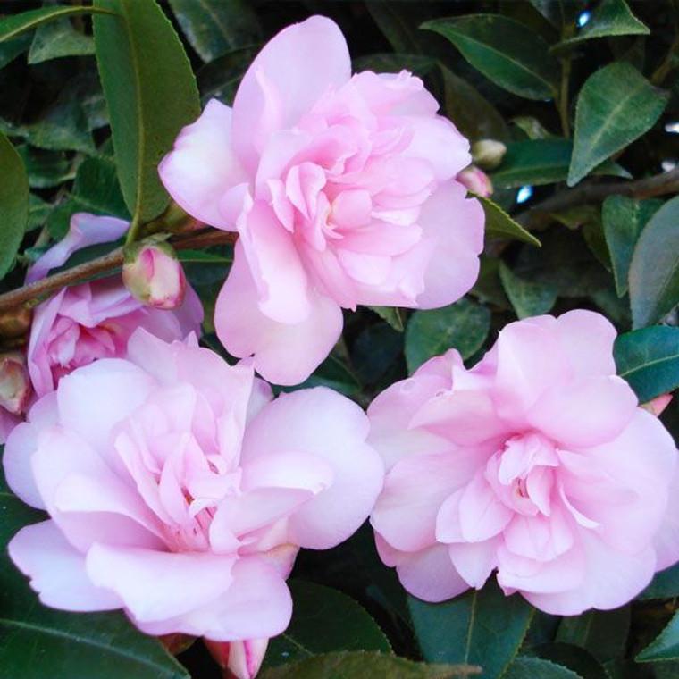 Camellia hybrid 'Itty Bit' PB12