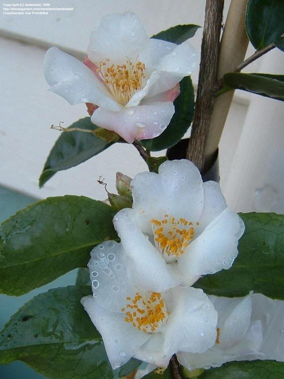 Camellia 'Snow Drop' 8L
