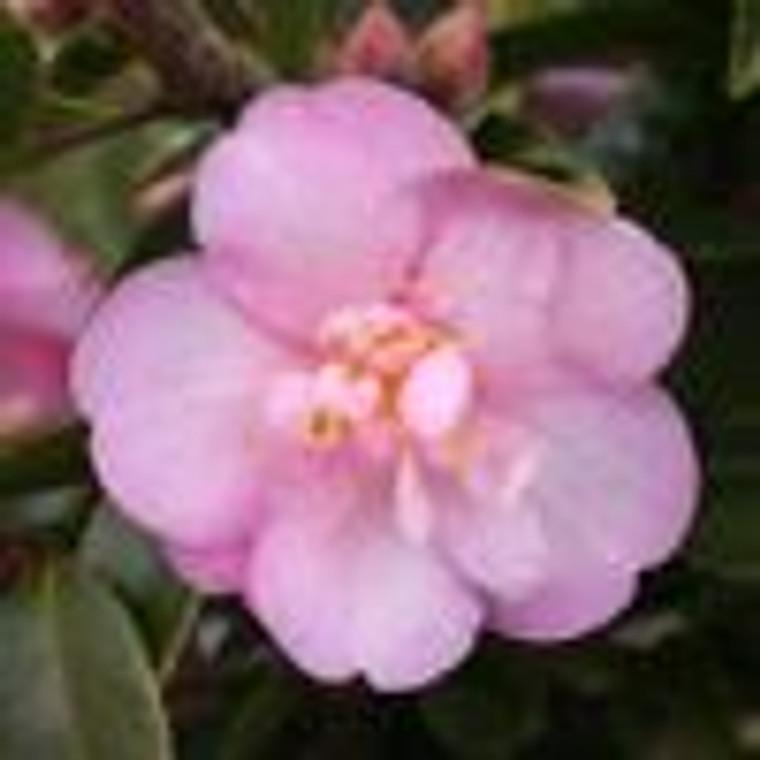 Camellia 'Our Melissa' 8L
