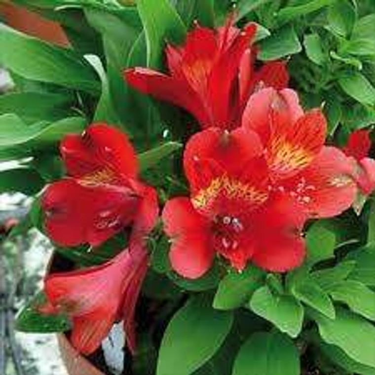 Alstroemeria inticancha 'Doba' 2.5L