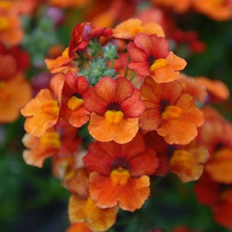 Nemesia 'Sunsatia Clementine' 1.5L